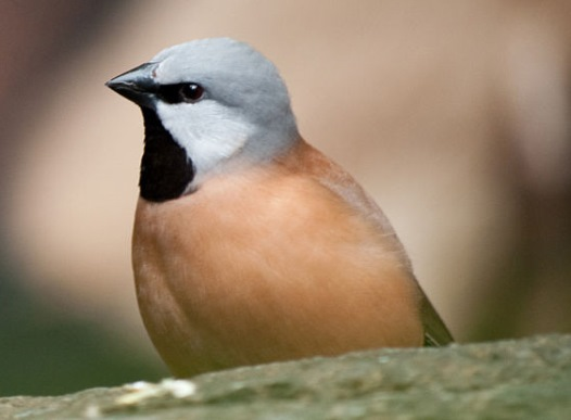Black throated finch, by Chris Williams